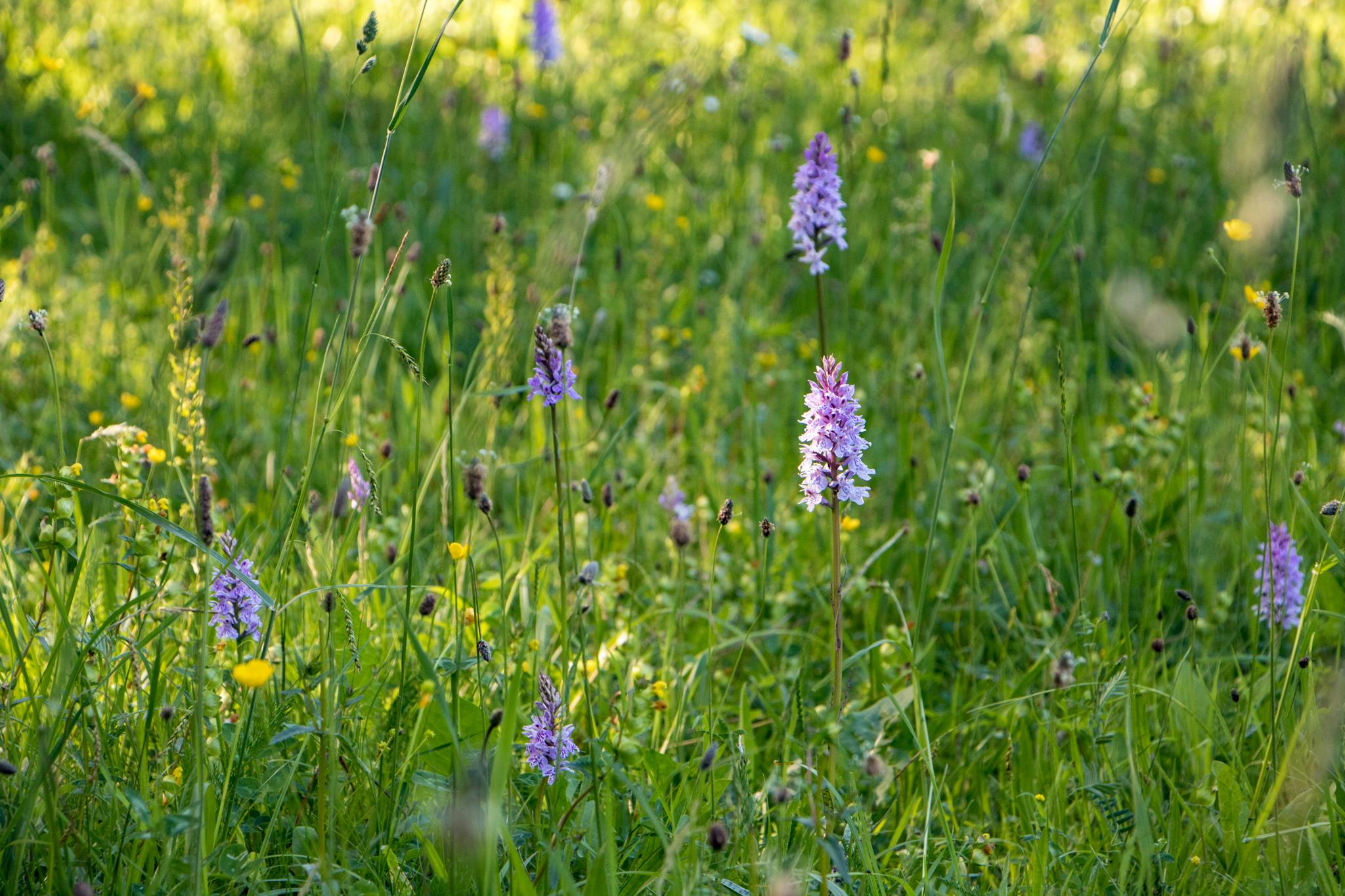 Heimische Orchideen en Masse: Knabenkräuter in einer Wiese