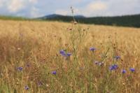 In glühender Sonne: Kornblumen am Feld