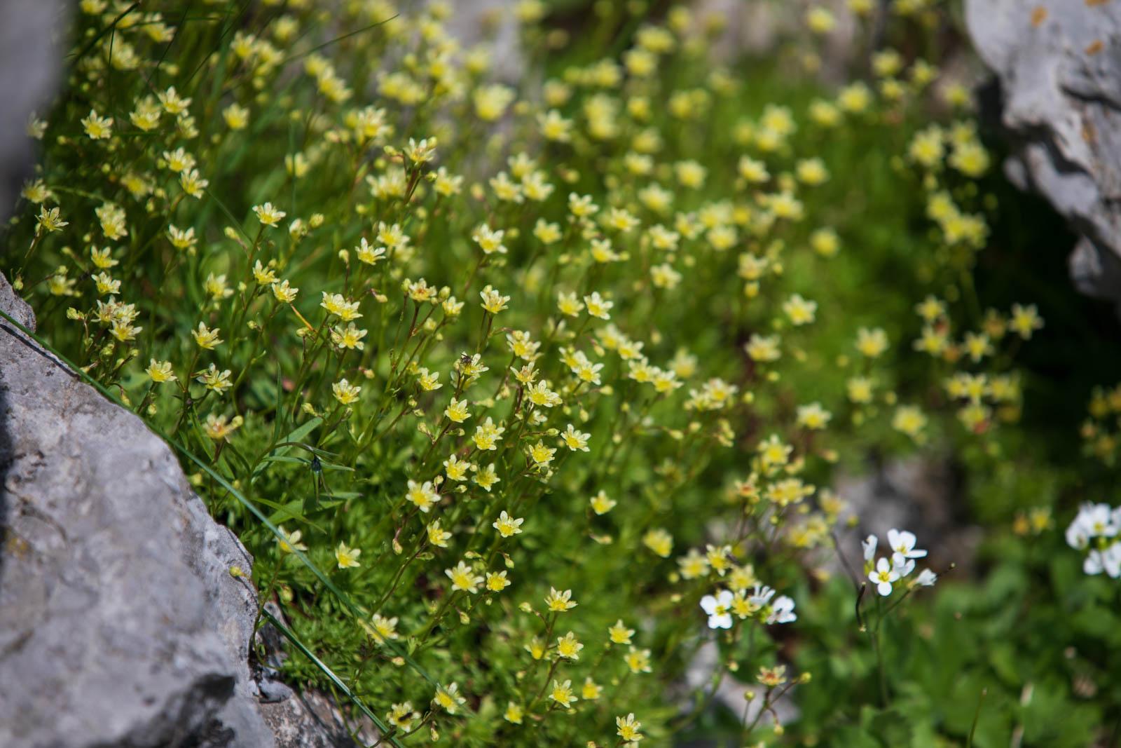 Zauberhafte Saxifraga-Wiese