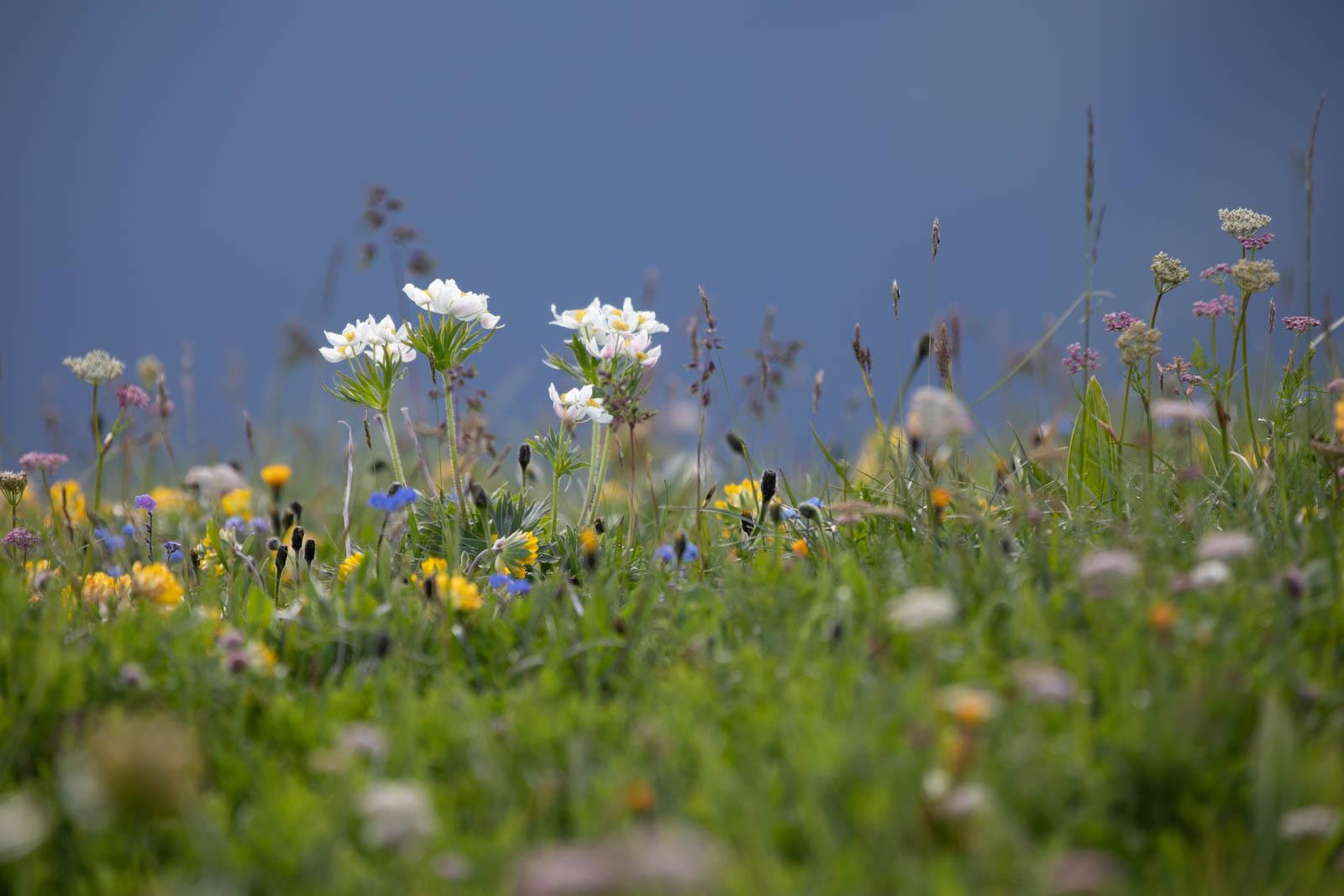 Pulsatilla alpina, eine zarte Schönheit