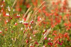 Salvia in rot-weiß