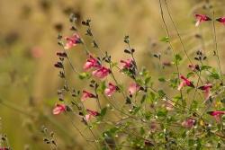 Vor einer Woge von Nasella tenuissima