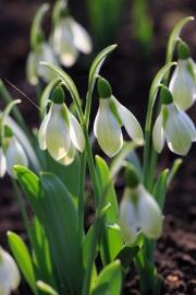 """Galanthus """"Rosemary Burnham"""" ist eine ausgesprochene Schönheit mit den grünen Streifen auf den äußeren Hüllblättern."""