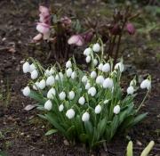 """Galanthus """"Diggory"""" ist ein echtes Dickerchen und wird sehr groß. Seine Besonderheit sind die wie gehämmert wirkenden Blütenhüllblätter."""