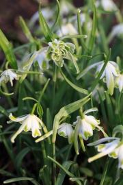 """Galanthus """"Walrus"""" ist unverkennbar: lange, dünne äußere Blütenhüllblätter und innen gefüllt. Ich war über den großen Tuff bei Cathy Portier echt erstaunt, da es sich gerne zickig anstellt."""