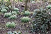 Bei Brigitte im Garten wachsen überall kräftige Tuffs Galanthus
