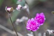 In Brigittes Garten wachsen auch ein paar hübsche Hepatica