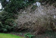 Corylopsis spicata hat eine tolle Winterstruktur (Arboretum Kalmthout)