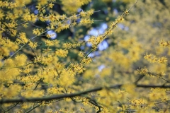 Gelbe Hamamelis (Arboretum Kalmthout)