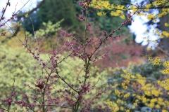 Verschiedene Hamamelis (Arboretum Kalmthout)