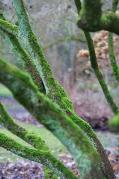 Flechten und Moos auf dem Stamm von Cornus bretschneideri (Arboretum Kalmthout)