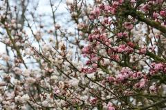 Der Winterschneeball (Viburnum farreri) im Arboretum Kalmthout