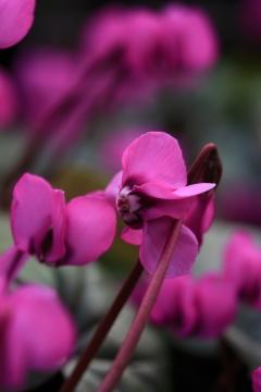 Blütenteppiche aus vorwitzigen Cyclamen coum (Arboretum Kalmthout)