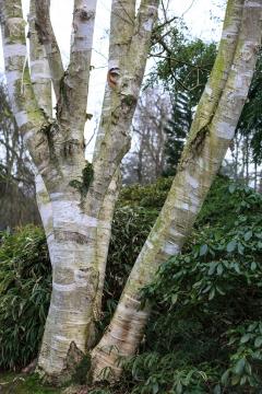 Interessante Struktur: Stamm von Betula utilis