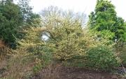 Ein altes Prachtexemplar von Hamamelis pallida im Arboretum Kalmthout