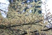 Hamamelis pallida (Arboretum Kalmthout)