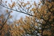 Hamamelis mit geraden Ästen (Arboretum Kalmthout)