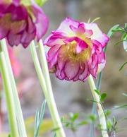 Gefüllte Helleborus x hybridus