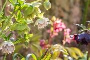 Gerüschte Helleborus x hybridus