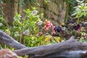 Helleborus x hybridus in verschiedenen Formen und Farben