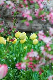 Malus-Blüten und Tulpen