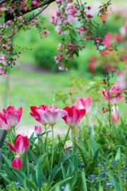 Tulipa fosteriana Flaming Purissima unter Malus hupehensis