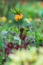 Fritillaria-Ensemble mit Päonien-Austrieb und Anemone japonica