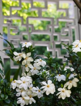 Blühende Gardenien vor einer der gestalteten Fensteröffnungen in der Außenmauer