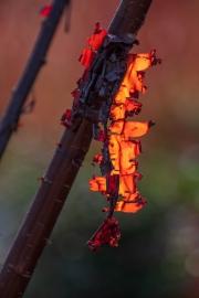 Prunus mit abblätternder Rinde