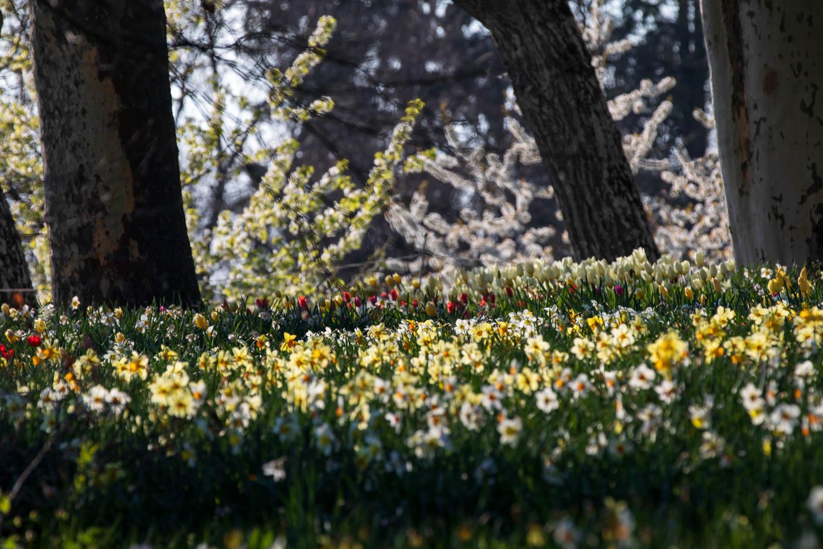 Narcissus und Kirschblüte