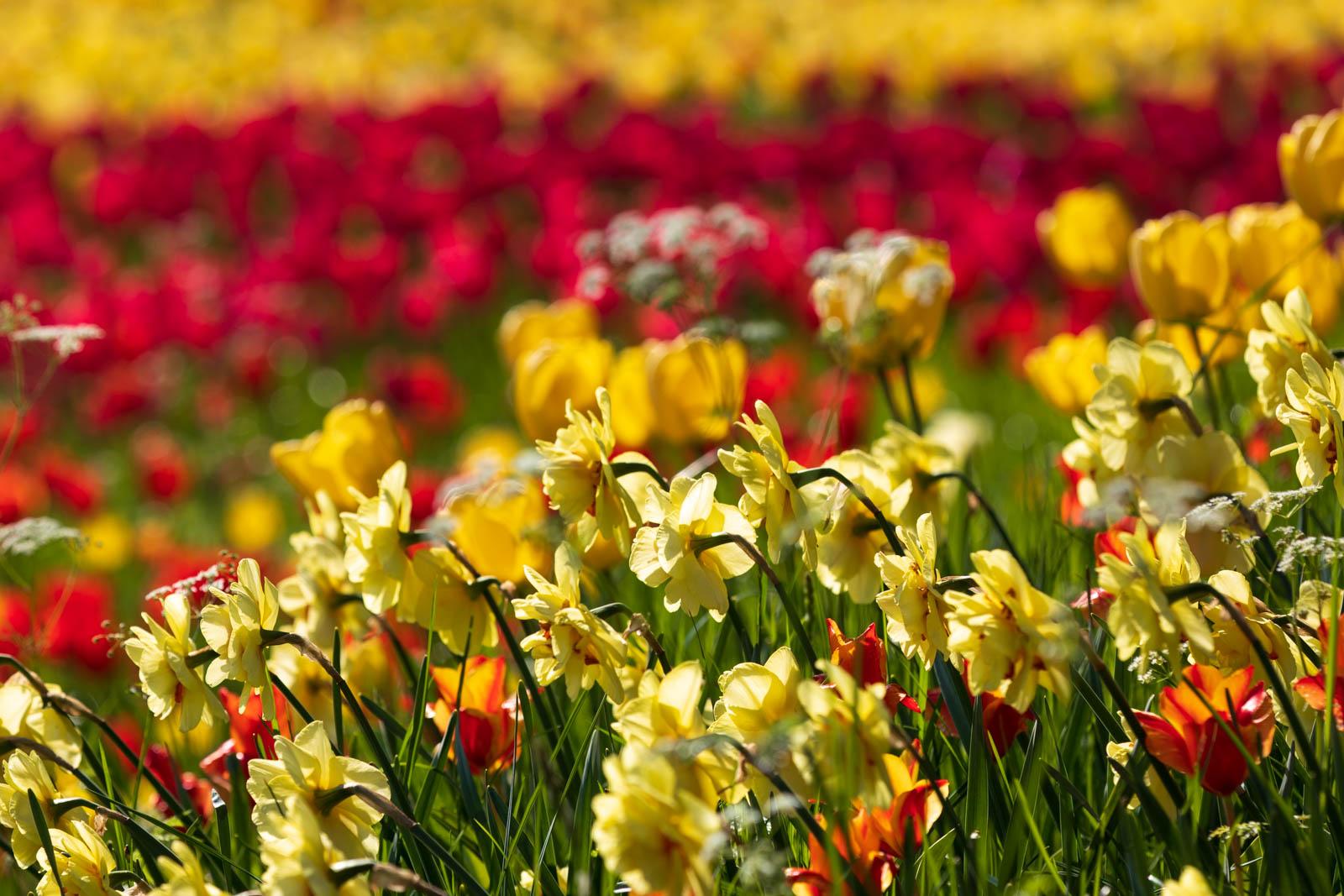 Narzissen am Rande der Tulpenwiese