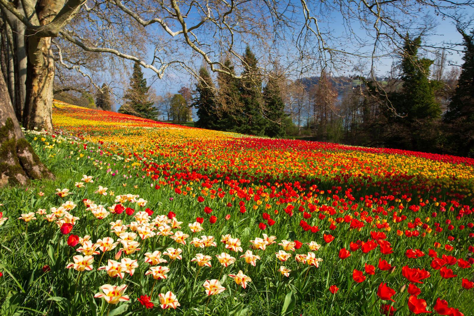Tulpenwiese
