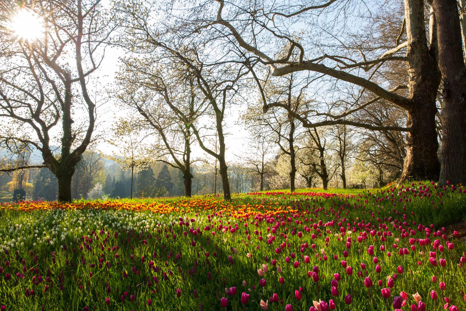 Tulpen und Kirschblüte
