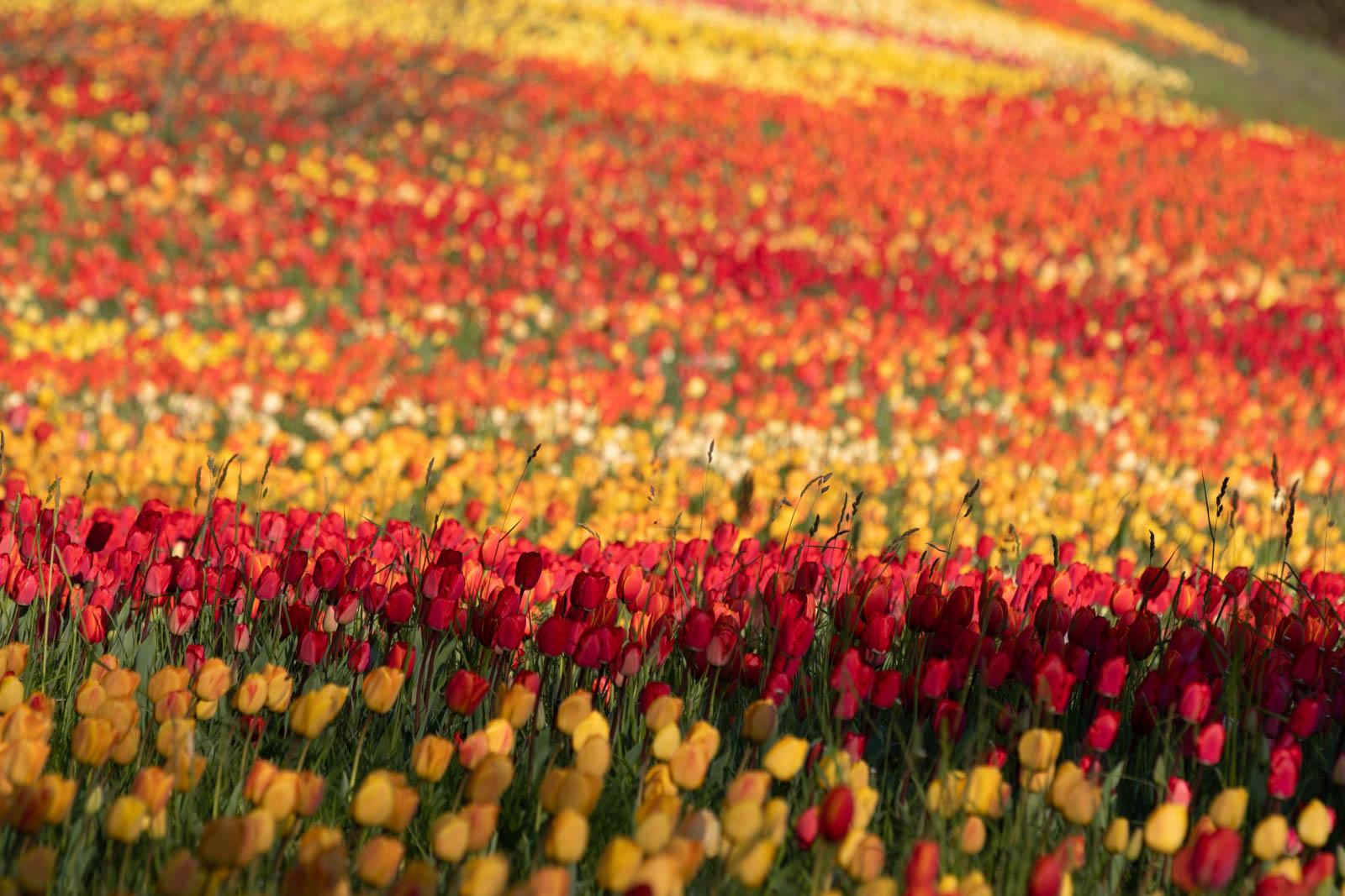 Tulpenflut