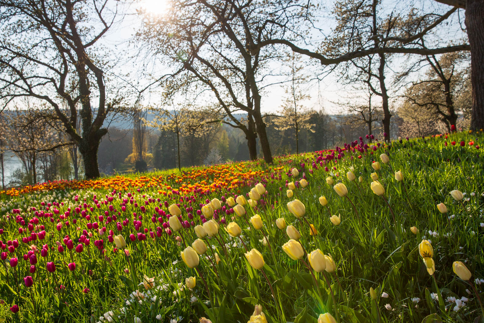 Tulpen mit Kirschblüte