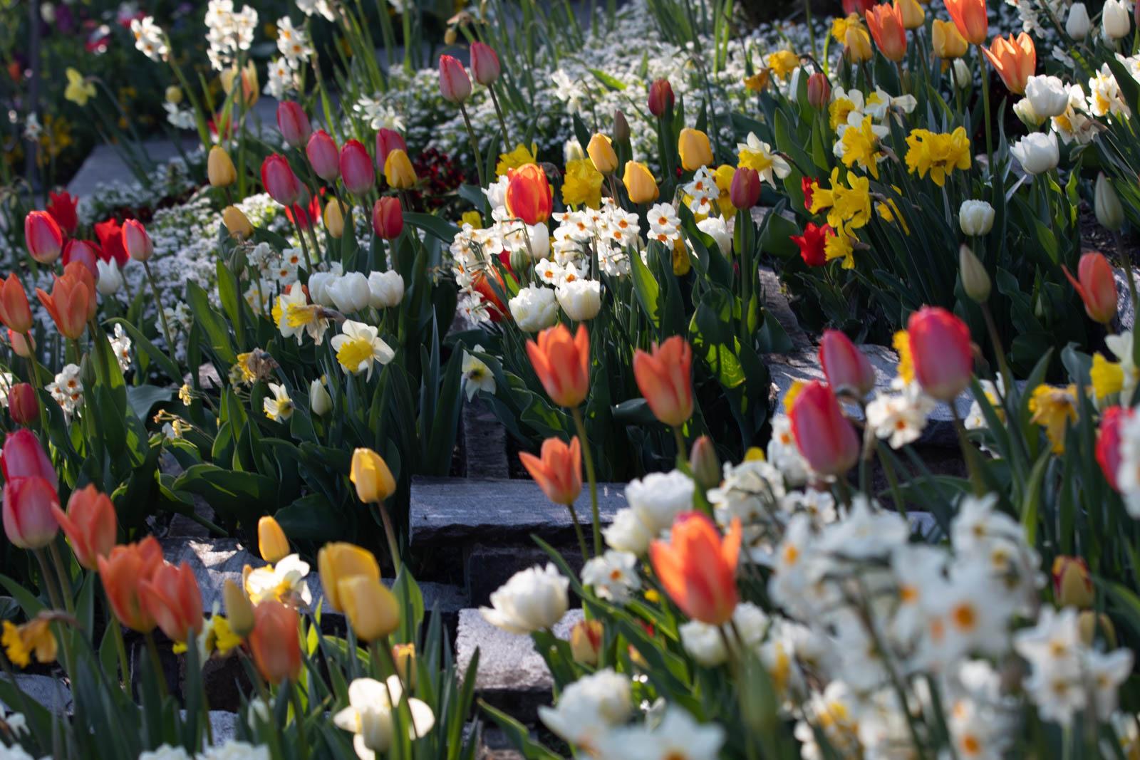 Tulpen und Narzissen auf der Blumen-Wassertreppe