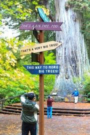 """Besuchermagnet """"Tall Tree"""": 87 Meter hoch, 22,7 Meter Stammumfang, 1500 Jahre alt"""