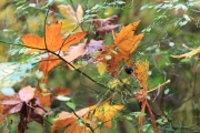 Ahornblätter in den Heidelbeeren