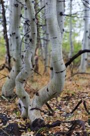 Tanzende Bäume (Quaking Aspen)