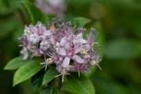 Immergrüne Hortensie (Dichroa febrifuga)