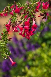 Cantua buxifolia vor Salvia