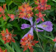 Iris tenax und Castilleja hispida