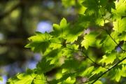 Ahorn im lichten Wald