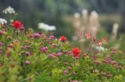 Spirea splendens, Aquilegia formosa, Castilleja hispida