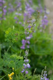 Thalictrum occidentale und Lupinus latifolius