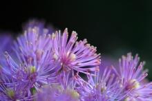 Thalictrum aquilegifolium hat dann trotz den vielen Läusen wunderbar geblüht. Einer meiner Favoriten im Mai für den Halbschatten.