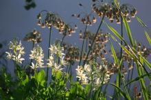 Allium siculum (wieder zurückbenannt von Nectaroscordum) und Dictamus Albus im abendlichen Gegenlicht