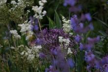 """Meine persönliche Lieblingskombi für trockene Standorte: Filipendula vulgaris, Allium christophii und Nepeta """"Six Hills Giant"""""""