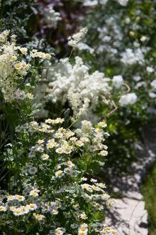 Das weiße Beet: Filipendula vulgaris und plane mit Tanacetum parthenicum, Campanula persica und Cerastium tomentosum.