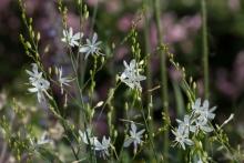 Anthericum ramosa, die ästige Graslilie, ist eine filigrane Schönheit, die die Trockenheit liebt.